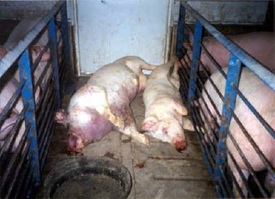 These dead pigs were left in plain sight of the other pigs, increasing their stress and vulnerability to disease.